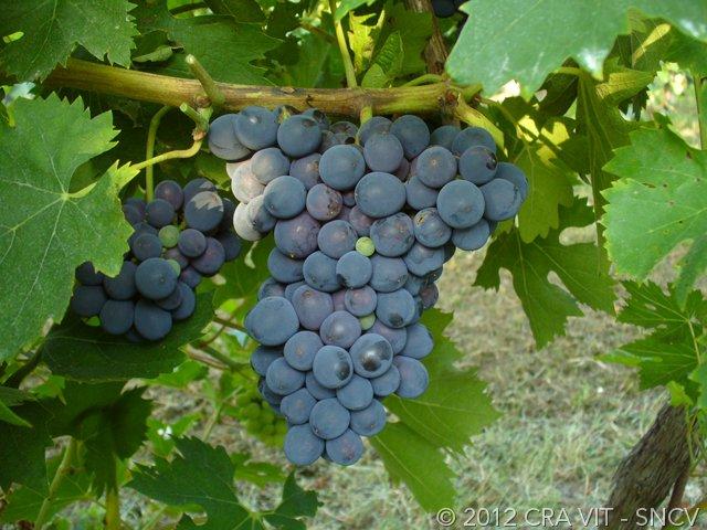 Il Pugnitello un antico e moderno vitigno toscano