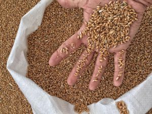 Ancient Wheat project at santa Vittoria