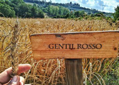 santa-vittoria-gentil-rosso-variety-web