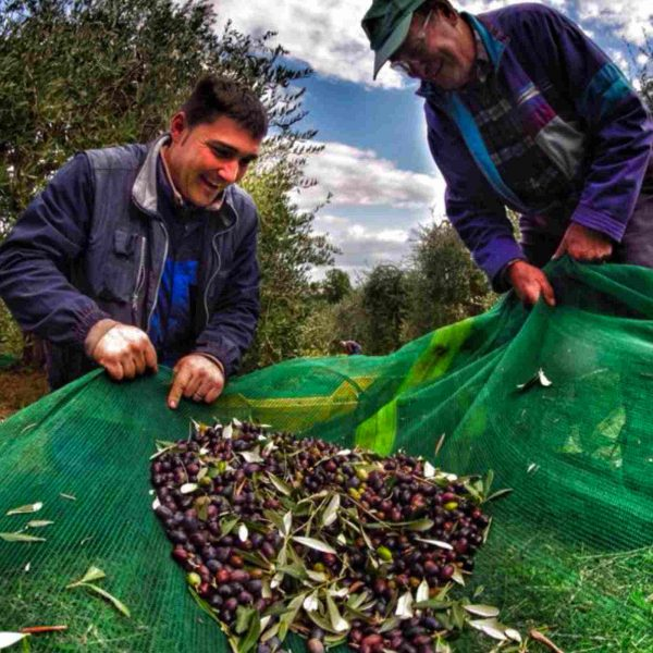 Olive harvest for Extravergin olive oil